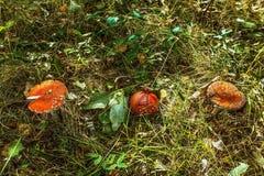 Champignons, agaric de mouche images stock