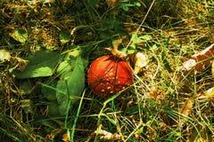 Champignons, agaric de mouche photographie stock