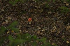 Champignons, agaric de mouche image libre de droits