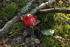 Champignons, agaric de mouche photos libres de droits