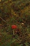 Champignons, agaric de mouche photos stock