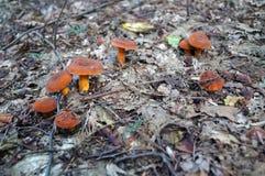 Champignons avec les chapeaux et les jambes oranges Photographie stock libre de droits