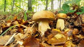 Champignons blancs dans le grand plan, forêt, feuillage Photo libre de droits