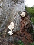 champignons blancs g?ants dans un arbre, photographie stock