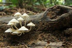 Champignons blancs s'élevant sur le bois de décomposition - série 2 Photos stock