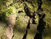 Champignons blancs sur l'écorce de saule photo libre de droits