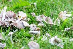 Champignons blancs sur l'herbe de jardin Images libres de droits
