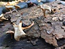 Champignons blancs sur un tronçon d'arbre Image stock