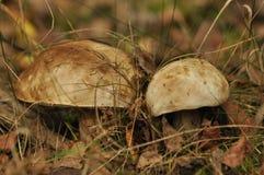 Champignons comestibles Élevage de boletus Image libre de droits