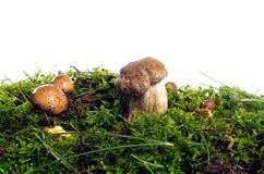 Champignons comestibles Photographie stock