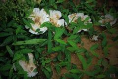 Champignons comestibles blancs Photographie stock libre de droits