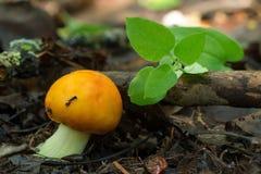 Champignons comestibles qui se développe dans le bois Bois d'automne COLLECTE DES CHAMPIGNONS DE COUCHE bel agari rouge de mouche Image stock