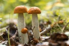 Champignons comestibles qui se développe dans le bois Bois d'automne COLLECTE DES CHAMPIGNONS DE COUCHE bel agari rouge de mouche Photo stock