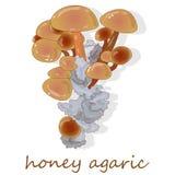 Champignons d'agaric de miel Groupe d'Armillaria sauvage de champignons Photo stock