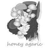 Champignons d'agaric de miel Groupe d'Armillaria sauvage de champignons Image libre de droits