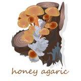 Champignons d'agaric de miel Groupe d'Armillaria sauvage de champignons Image stock