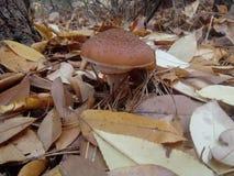 Champignons d'agaric de miellée dans des feuilles jaunes images stock