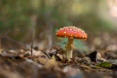 Champignons d'agaric de mouche dans la forêt Photos stock