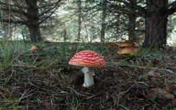 Champignons d'agaric et de boletus de mouche dans le pin Image stock