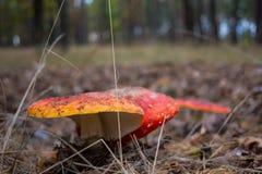 Champignons d'amanite dans la forêt photographie stock