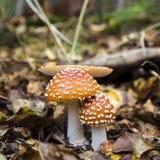 Champignons d'amanite dans la forêt Photos libres de droits