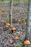 Champignons d'automne dans un environnement de forêt naturelle Photos stock