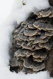 Champignons d'hiver sur l'arbre photographie stock libre de droits