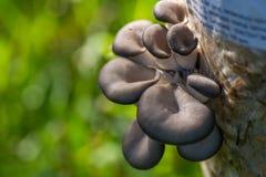Champignons d'huître cultivés Images libres de droits