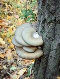 Champignons d'huître s'élevant sur un tronc d'arbre photos stock