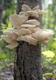 Champignons d'huître sauvages Photos libres de droits