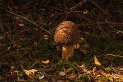 Champignons dans la forêt photographie stock
