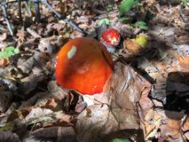 Champignons dans la forêt image libre de droits
