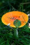 Champignons dans la forêt d'automne images libres de droits