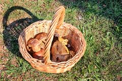 Champignons dans le panier Cueillette de champignon dans une forêt pendant l'automne en nature Un élevage non comestible de champ Image libre de droits