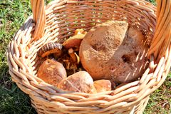 Champignons dans le panier Cueillette de champignon dans une forêt pendant l'automne en nature Un élevage non comestible de champ Images libres de droits