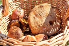 Champignons dans le panier Cueillette de champignon dans une forêt pendant l'automne en nature Un élevage non comestible de champ Photographie stock libre de droits