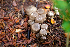 Champignons de Brown avec les taches blanches Photos libres de droits