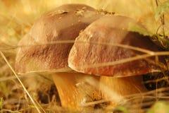 Champignons de cèpe - double deliciousness images libres de droits