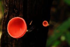 Champignons de Champagne ou tasses velues de champignon La tasse de champignon est nom scientifique de tricholome de Cookeina photo stock