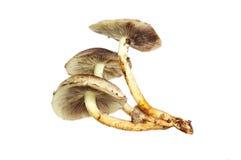 Champignons de champignon d'isolement photos libres de droits