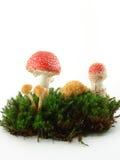 champignons de couche Image stock