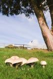 champignons de couche Images libres de droits