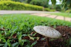 Champignons de couche blancs Photographie stock