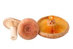 Champignons de couche comestibles Image stock