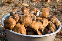 Champignons de couche comestibles Images libres de droits