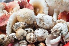 Champignons de couche comestibles. Photos stock