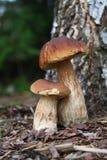 Champignons de couche comestibles d'automne Photographie stock libre de droits