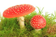 Champignons de couche d'agaric de mouche (muscaria d'amanite) Images libres de droits