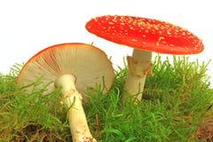 Champignons de couche d'agaric de mouche (muscaria d'amanite) Images stock