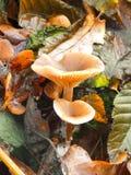 Champignons de couche d'automne image libre de droits